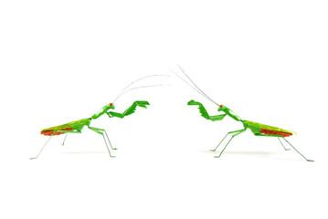 praying mantis vs praying mantis 1