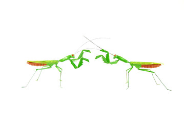 praying mantis vs praying mantis 1b