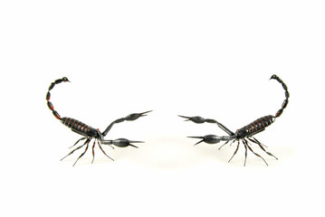 scorpion vs scorpion 3
