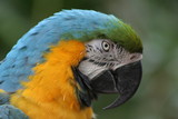 Blue and Gold Macaw (Profile)