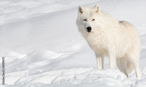 Papiers peints Loup Arctic Wolf in the Snow Looking at the Camera