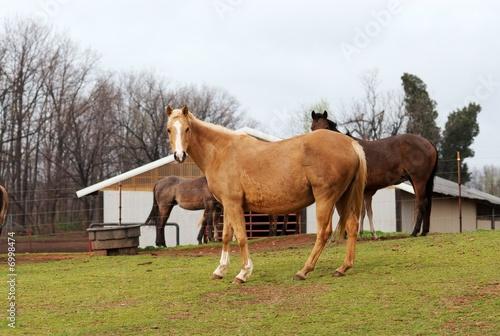 Leinwandbild Motiv Horses grazing at a horse farm.
