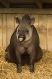 Tapir with humorous expression poster
