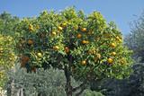 Orangenbaum bei Diano Castello