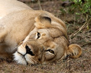Lioness resting after hunting at the Addo National Park