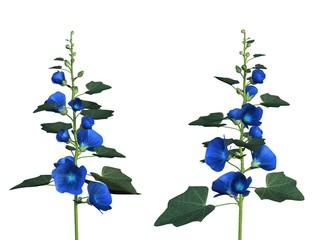 fleurs althaea