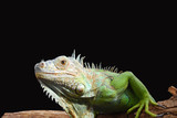 Iguan-the lizard from family of reptiles poster