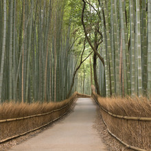 Kyoto bambusowy gaj