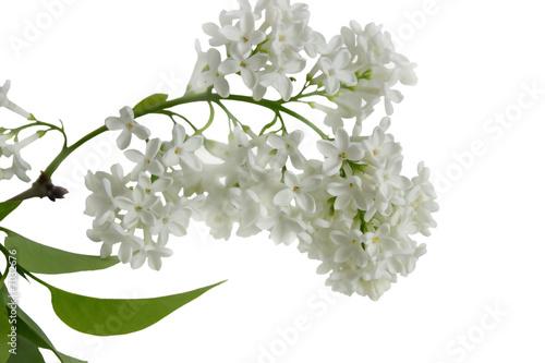 In de dag Lilac branche de lilas blanc