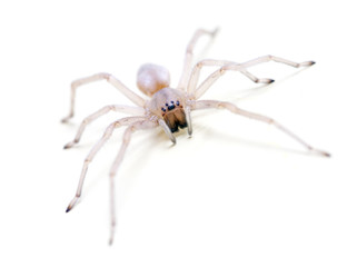 Translucent Spider on white