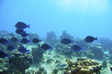 school of blue tang surgeonfish in blue water