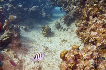 sergeant major damselfish and coral reef