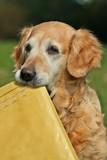 Golden retriever -  assistant of mailman poster