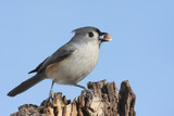Tufted Titmouse (baeolophus bicolor) with a peanut poster