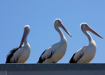 Pelicans on a roof