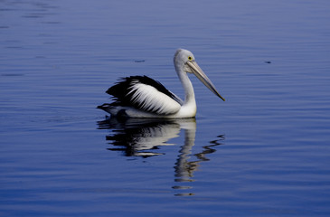 Pelican on a Lake