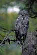 Bird-Great gray owl