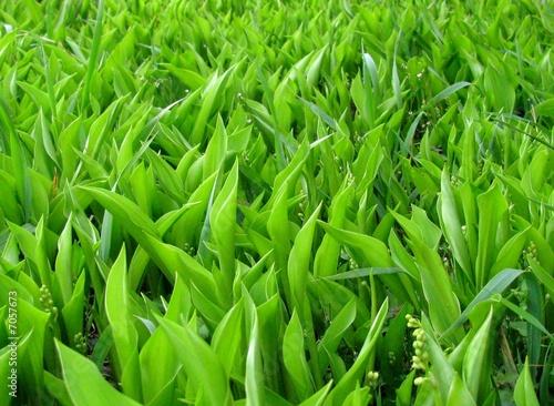 champs de muguet