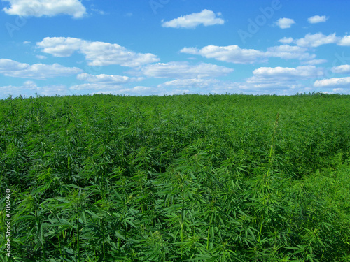 Industrial hemp - 7059420
