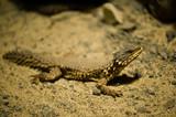 sungazer reptile poster
