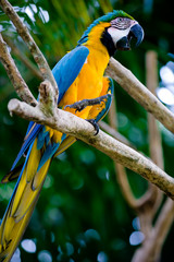 blue and gold scarlet macaw