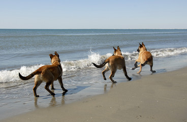 three malinois and the sea