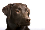 Proud Chocolate Labrador poster