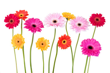 colorful daisies isolated on white