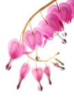 pink dicentra - 7069605