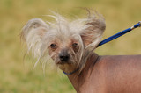 chinese crested dog on the background green grass poster