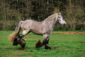 CHEVAL DE TRAIT POITEVIN