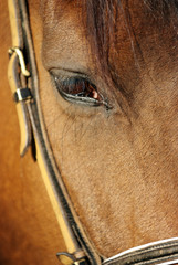 A brown horse eye (close up) in its stable