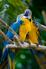 romantic blue and yellow macaws