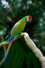 military macaw on a tree