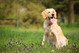 Yellow Labrador retriever resting in the park poster