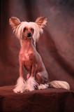 Chinese crested dog against studio background poster