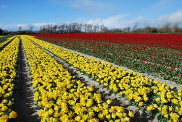 culture de tulipe