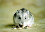 Cute, adorable sapphire dwarf hamster poster