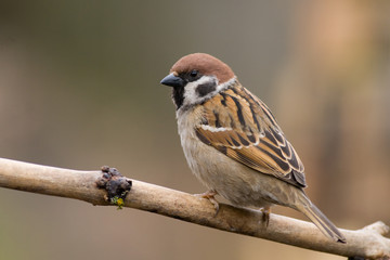 tree sparrow (aka passer montanus)