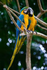 romantic blue and yellow macaws long shot