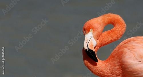 Foto op Aluminium Flamingo flamant rose 2