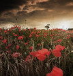roleta: Poppy Field