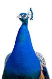 Peacock closeup cutout poster