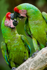 a pair of military macaws kissing