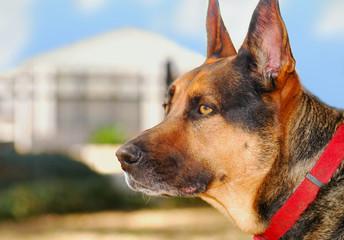 German Shepherd on Watch