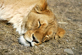 let sleeping lions poster