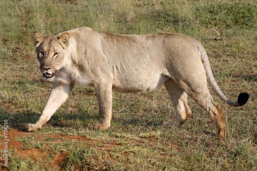 Leinwanddruck Bild female lion