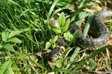 snake reptile creeping in the grass poster