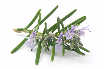 Blossoming branch of rosemary