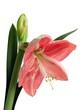 Fototapete Blatt - Rosa - Blume